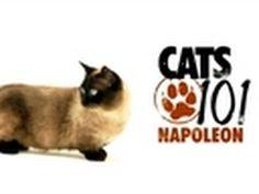 Cats 101- Napoleon.