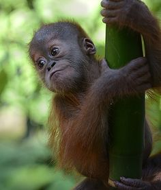 A rescued baby Sumatran orangutan named Gokong Puntung is pictured learning to climb tree branches at the Sumatran Orangutan Conservation Center in Indonesia.