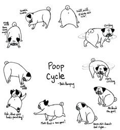 Bah Humpug: Pug Poop Cycle.  Sunny goes through this cycle sometimes up to 5 times on one walk (Rosy is much faster and will just circle a few times). It can be frustrating when I'm in a rush, but it's always entertaining and hilarious.