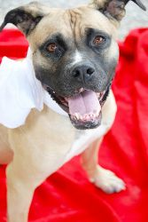 Cupcake is an adoptable Boxer Dog in Cincinnati, OH. Way back around Valentines Day, we heard about a boxer-mix in a high-kill shelter. Her owner was battling cancer and unable to continue caring for ...