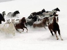 Des chevaux au galop dans la neige
