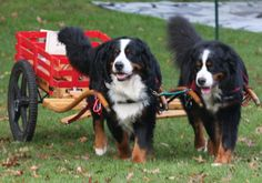 Draft test regulations from the BMDCA (Bernese Mountain Dog Club of America.)