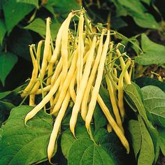 Heirloom TopNotch Gold Wax Bean. This Golden Wax heirloom bean is a heavy producer, 50 days until harvest