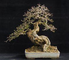 Buy Yamadori and Bonsai   Bonsai & Yamadori from Tony Tickle