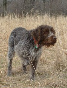 Korthals wirehaired pointing griffon