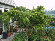 Robinia pseudoacasie 'Twisty Baby'  30-50 cm. - Troldakacie, Troldrobinie (NP)