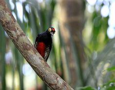 Foto benedito-de-testa-vermelha (Melanerpes cruentatus) por Anselmo d`Affonseca