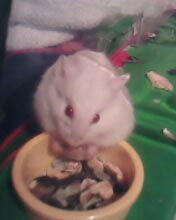 Albino dwarf hamster - Or as she is better known, Pogo  It's hard to describe an albino hamster (white fur, red eyes) without it sounding like some kind of demon. But they are honestly very cute, not at all demonic.