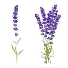 fresh cut fragrant lavender plant flowers bunch and single 2 realistic icons set isolated vector illustration Lavender Garden, Lavender Flowers, Plant Images, Bunch Of Flowers, Icon Set, Illustration, Planting Flowers, Glass Vase, Royalty Free Stock Photos