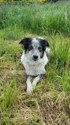 Pretty Pann again :-) she's such a lovely little collie!