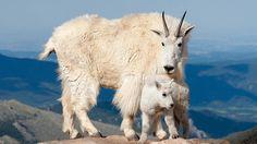 Mountain goat (Oreamnos americanus) with kid, Mount Evans, Colorado (Credit: Visuals Unlimited/NPL) Primates, Mammals, Beautiful Creatures, Animals Beautiful, Farm Animals, Cute Animals, Tom Walker, Mom Show, Animal Species