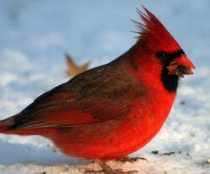 Google Image Result for http://10000birds.com/wp-content/uploads/2009/01/forest-park-cardinal-2.jpg