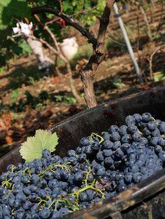 Harvesting grapes in the vineyard.