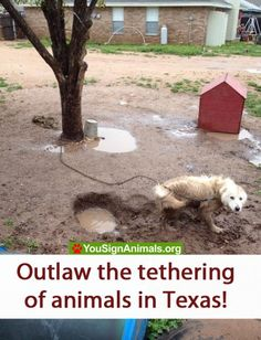 Texas dog chained to a tree 24/7, without food or water in sight! Make tethering illegal! | YouSignAnimals.org