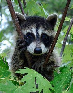 Baby Raccoon Up a Tree