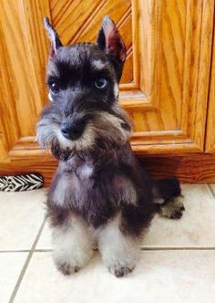 Toy & Mini Schnauzer puppies for sale, Parti Breeders,Fl AKC