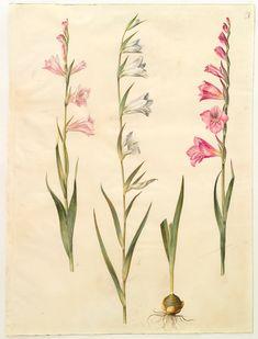 Gladiolus communis, KKSgb2947/67. …