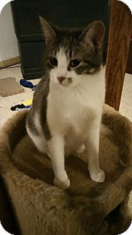 Pictures of Hannah a Domestic Shorthair for adoption in Valley Park, MO who needs a loving home.