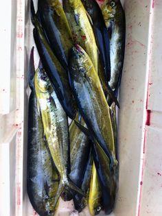 Buena pescata de Llampugas
