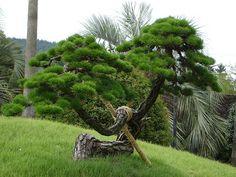 pine tree | Flickr: Intercambio de fotos
