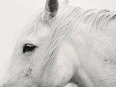 11x14 White Horse Profile Photograph, Modern Horse Photography