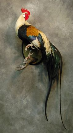 We had these one time! Their tail feather can grow to 18 FEET long! Ours never d… We had these one time! Their tail feather can grow to 18 FEET long! Ours never did, but that's what the books said. Birds Painting, Rooster Art, Animal Art, Tail Feathers, Taxidermy, Rooster Tattoo, Chicken Art