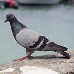 Pigeon, Facts about Pigeon