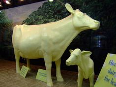 A Butter Cow has been sculpted each year for the Ohio State Fair since 1903, using about 2,000 pounds of unsalted butter. It's a highlight of the fair for many fairgoers. Columbus, Franklin County, Ohio
