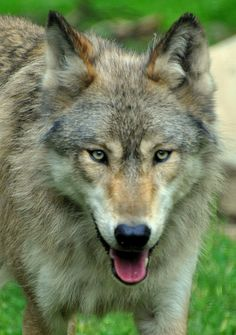 wolveswalkingintheforest: Grey Wolf (by Eve'sNature) Wolf Hybrid, Bark At The Moon, Wolf World, Wolf Face, Wolf Spirit Animal, Wolf Pictures, Beautiful Wolves, Wolf Howling, Funny Animal Videos
