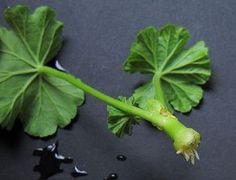 Секреты пышного цветения герани — 6 соток
