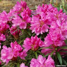 Rhododendron Graziella - Grand Rhododendron