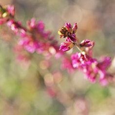 At Last by Lala Lands, via Flickr. Daphne Mezereum blooming in the rock garden at the Smith College Botanic Gardens.