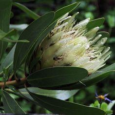 Protea Obtusifolia              Bredasdorp Protea /Limestone Sugarbush        Bredasdorpsuikerbossie
