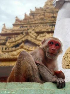 Mount Popa Monkey with baby, Burma by Eric Kuns