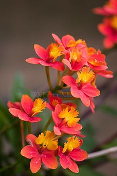 Orange Red Reed Epidendrum Orchid