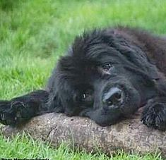Cheer Up Pictures, Newfoundland Dogs, Gentle Giant, Cute Baby Animals, Labs, Dog Breeds, Soda, Cute Babies, Labrador Retriever