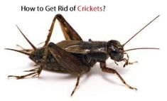 How to Kill Roaches Fast? Getting Rid Of Crickets, Cricket Insect, German Cockroach, Baking Soda Water, Natural Spice, Room Freshener, Small Insects, Phone Companies