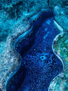 Giant Clam Puts on a ShowPhotograph by Bates Littlehales, National Geographic