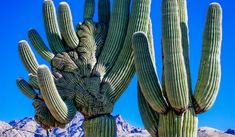 The Mysterious Crested Saguaro - Arizona Public Media