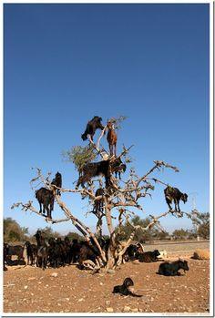 Goats can climb tree!