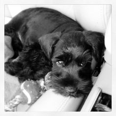 Mini schnauzer! ...Maw just like my Ozie when he was young. I still see the pup in him now that's why I still call him my puppy. #miniatureschnauzerblack