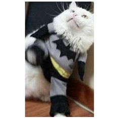 dogs in clothes images Batman Cat, Pet Clothes, Dog Clothing, Pet Costumes, Super Hero Costumes, Funny Cats, Pet Supplies, Kitty, Superhero
