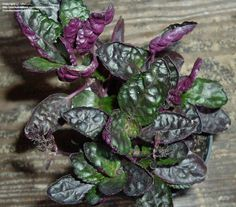 View picture of Purple Waffle Plant 'Exotica' (Hemigraphis colorata) at Dave's Garden.  All pictures are contributed by our community.