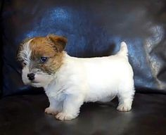 Cute Jack Russell terrier puppy....via So Doggone Funny