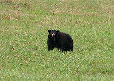 Black bear on Cannon Mt. NH..