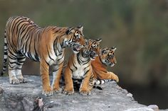 tiger Photo by surendra chouhan -- National Geographic Your Shot