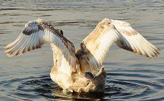 Swan Wings of an Angel