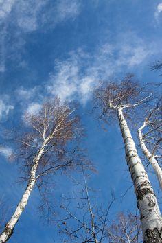 #Whitetrees #landscape #alberibianchi #cielo #nuvole #clouds #whiteclouds #trees #alberi #paesaggio
