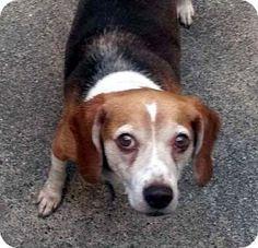 Houston, TX - Beagle. Meet Georgie, a dog for adoption. http://www.adoptapet.com/pet/10612773-houston-texas-beagle