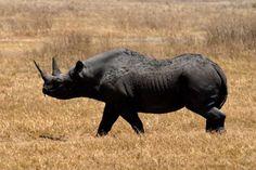 Rinoceronte negro occidental